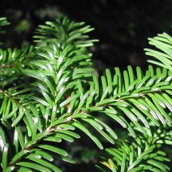 Tree Spotlight: Abies amabilis 4