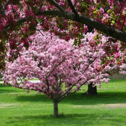 Examining Potential Issues with Crabapple Trees 7